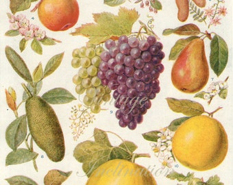 Antique Print FRUITS in many colors 1920 lithograph botanical print plate chart to frame