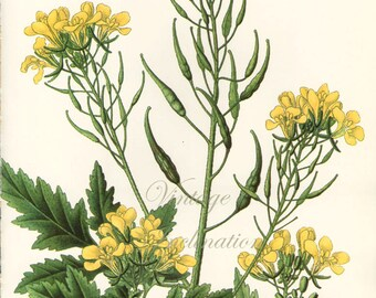 BURNET herbs Vintage Botanical Print Antique, plant print botanical print, bookplate art print, herb plants plant wall print