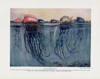 1898 Portugese GALLEY JELLY FISH original antique sea life ocean print