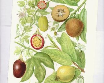 Botanical Fruits PASSION FRUIT Print edible plants kitchen vintage decor wall art garden illustration  99