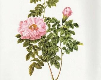 Ventenat's Rose art print vintage antique wall art pink flower art print Victorian art print antique rose art rose print prints 90