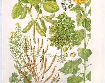 Botanical Fruits SUNFLOWER seeds Print edible plants kitchen vintage decor wall art garden illustration 25