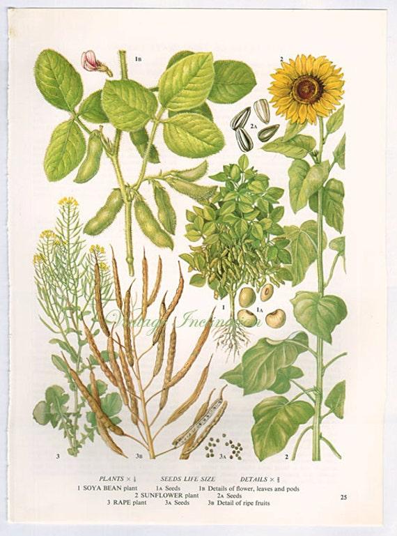 Botanische Fruchte Sonnenblume Samen Druck Essbare Pflanzen Etsy