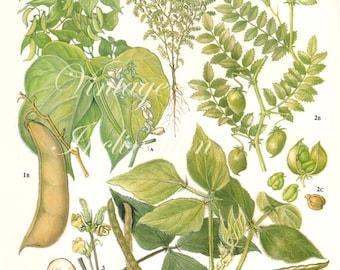 Vintage Botanical Print Antique BEANS 39, plant print botanical print, bookplate art print, vegetables plants plant wall