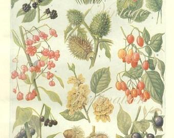 Vintage 1930s Botanical Print Antique BERRIES, plant print botanical print, bookplate art print, berries fruit plants plant wall print 3671