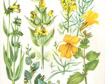 HERBS YELLOW RATTLE Vintage Botanical Print Antique, plant print 25 botanical print, bookplate art print, herb plants plant wall print