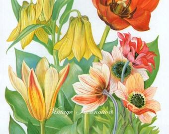 Antique Print 31, Tulips Anemones Flower Charts 1960 red plants wall art vintage color lithograph illustration botanical floral print