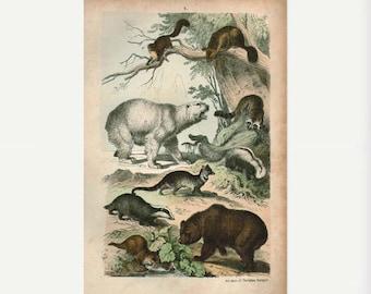 Antique Print,1875 POLAR BEAR brown wall art vintage color engraving illustration natural science chart