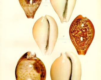 1958 SHELLS, antique vintage bookplate chart, original shells print 1 2