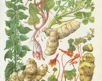 Vintage Vegetable ARTICHOKE kitchen decor wall hanging botanical illustration vintage art print 179