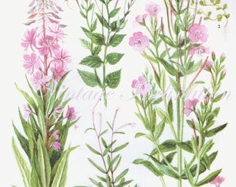 WILD FLOWERS Vintage Botanical Print Antique, pink plant print 113 botanical print, bookplate art print, herb plants plant wall print