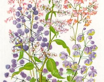 Vintage Print FLOWERS Thalictrum Dipterocarpum 149 chart beautiful 1960 wall art antique color lithograph illustration wild garden