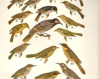 Birds 1931 Australian Book Print natural science plate XIV, bird prints