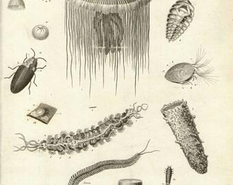 Antique Print, 1820 Marine Life Chart Jellyfish water beautiful 194 years old engraving wall art vintage ocean illustration