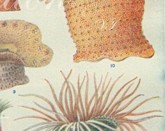 1933 SEALIFE 2 original antique ocean sea life bookplate, print, pink green anemone seaweed