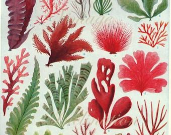 Vintage Botanical Print Antique BRITISH SEAWEED 3414, plant print botanical print, bookplate art print, sea plants plant wall print wall art