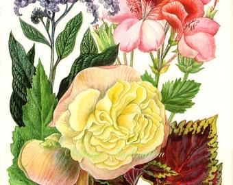 Vintage Print FLOWERS Begonia Pelargonium Coleus 125 chart beautiful 1960 wall art antique color lithograph illustration wild garden