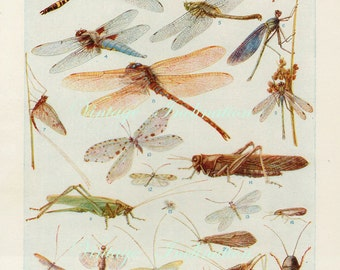Antique Natural History Print Dragon-Flies Woodland Forest Illustration - Insects Art Print