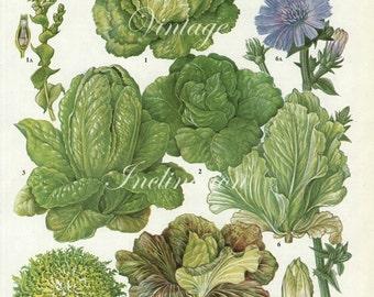 Vintage Salad Vegetable LETTUCE Cos Endive Chicory kitchen decor wall hanging botanical illustration vintage art print 151
