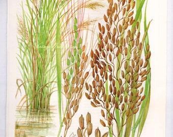 Botanical RICE GRAIN Print edible plants kitchen vintage decor wall art garden illustration 9