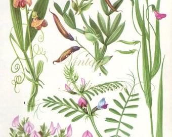 HERBS RESTHARROW herbs Vintage Botanical Print Antique, plant print 133 botanical print, bookplate art print, herb plants plant wall print