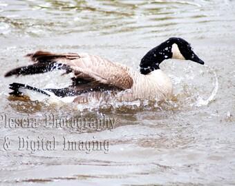 Birds on the Beach - Goose in Water