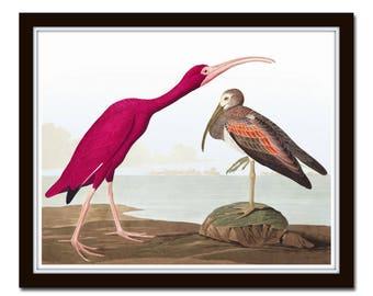Audubon Print Scarlet Ibis, Giclee, Wall Art, Art, Print, Home Decor, Beach Cottage Decor, Nature Art, Sea Bird Print, Audubon Bird Prints
