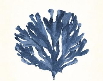 Vintage Indigo Blue Pacific Sea Kelp No. 5, Giclee, Art Print, Nautical Art Beach, Coastal Decor, Wall Art, Natural History Art, Collage