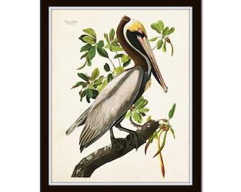 Vintage Audubon Brown Pelican Bird Print, Giclee, Art Print, Poster, Home Decor, Coastal Art, Audubon Bird Prints, Illustration, Sea Bird