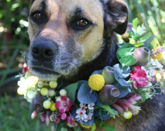 Dog flower crown, collar.  Flower garland for dogs.  Australian native flowers and foliage.  Billy buttons, gumnuts, wax flower