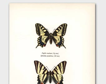 """Butterfly Art Print (Vintage Farmhouse Decor, Country Chic Wall Art) --- """"Scarce Yellow Swallowtail"""" No. 100-1"""