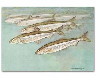 "Vintage School of Fish Print, Vintage Fishing Art, 1930s Lakehouse Decor --- ""Smelts"" No. 76"