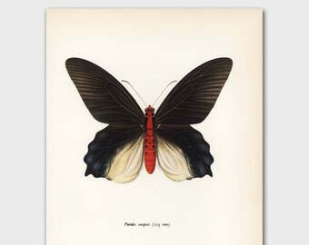 "Butterfly Wall Art (Black Butterfly, Scientific Illustration Gift) Vintage Butterfly Print --- ""Crimson Red Swallowtail"" No. 68-1"
