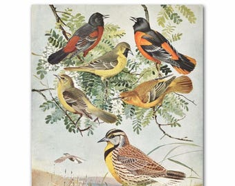 "Bird Print, Antique Natural History Art (Living Room Wall, Bedroom Artwork, Vintage Home Decor, Loft Hallway) ""Orioles & Meadowlarks"" No. 61"