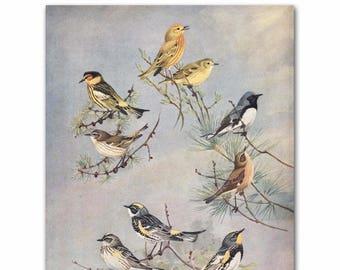 """Bird Print Art, Living Room Wall Print (Warbler Bird Art, Bird on a Branch) --- """"Warbler Varieties"""" No. 82"""