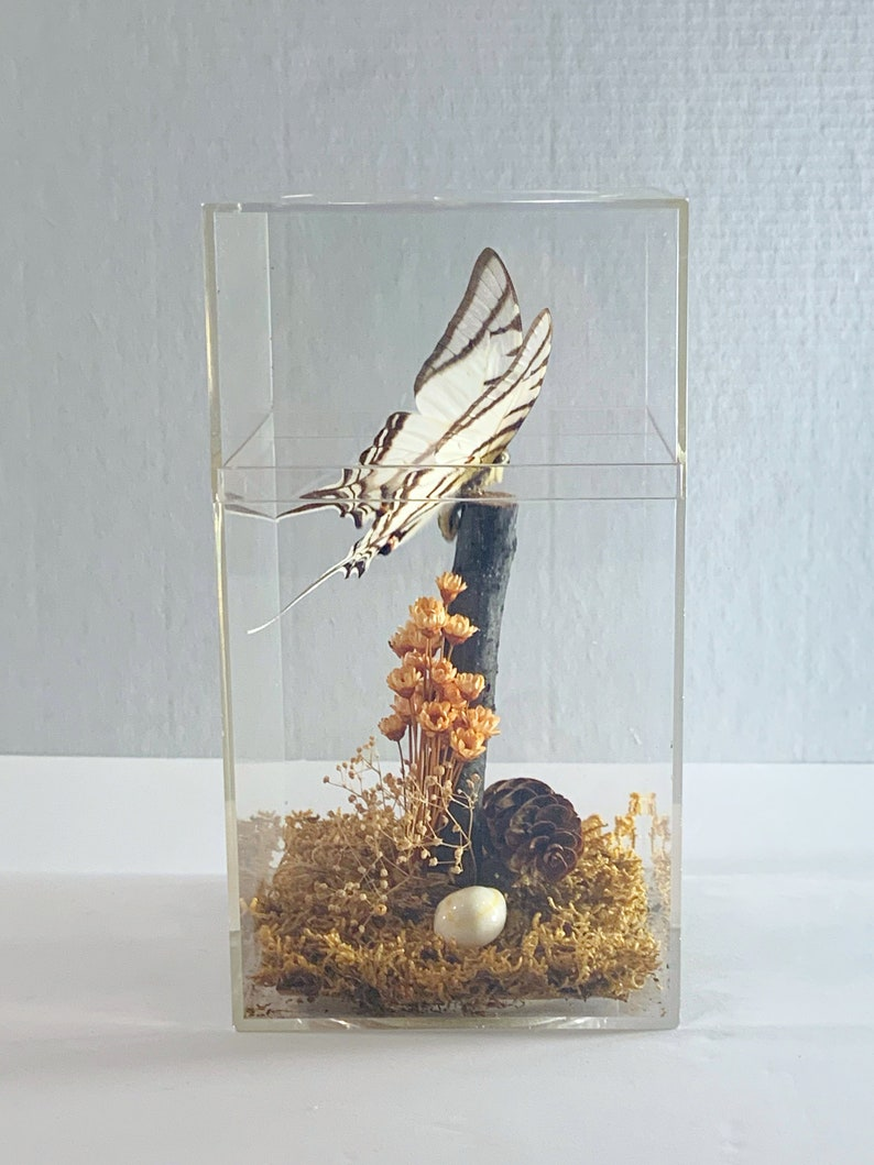 Taxidermy Butterfly in Plexiglass Display Case  Real Swallowtail Butterfly in Case from Peru  Gift Idea  Butterly Decor