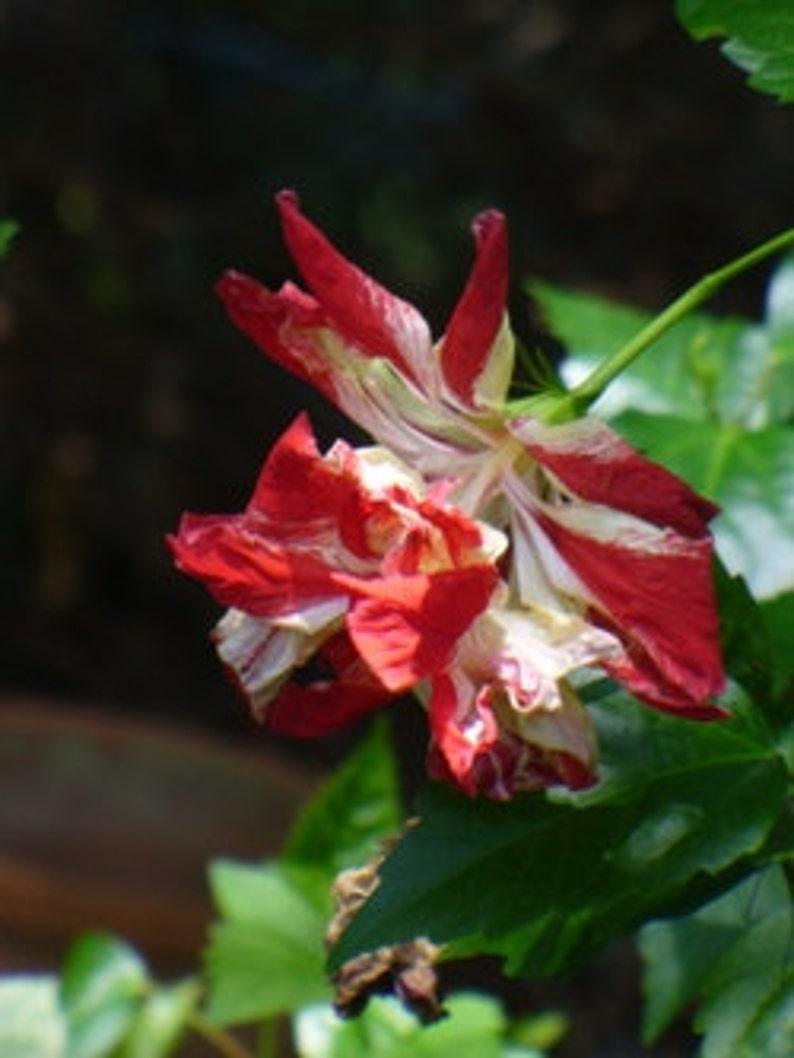 15 Texas Star Redwhite Hibiscus Seeds 1140