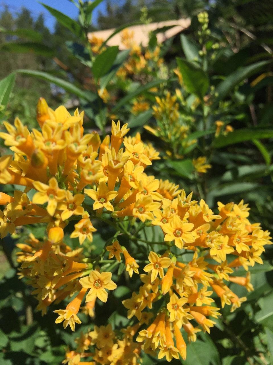 7 Night Blooming Yellow Jasmine Seeds 1343 Etsy