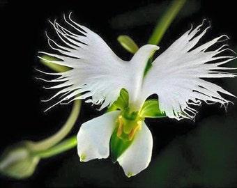 5 White Dove/Egret Flower Seeds-1358