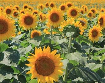 Sunflower Print, Flower Photography, Botanical Print, Sunflower Photo, Yellow Art Print, Yellow Wall Decor, Fine Art Photography, Art Prints