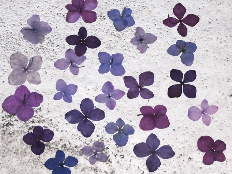 PF/_FL17T 100 PCS Pressed real Dry Transparent Hydrangea Flowers Dried Wedding flower Floral Home Decor Farmhouse Arrangement Resin Filling