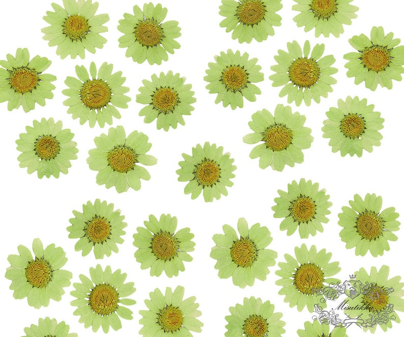 PF/_FL02G 20 PCS Olive Green Daisies Pressed Flat Daisy Flowers real Dry Daisy Flower Floral invitation Card Paper Goods Bookmark Envelope
