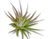 Small Tillandsia Ionantha Guatemala Air Plants