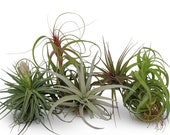 5 Large Assorted Tillandsia Collection Air Plants FREE SHIPPING