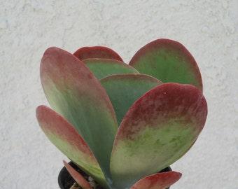 Large Kalanchoe Flapjacks-Kalanchoe Thrysiflora
