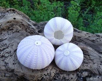 "1.5-2.5"" Purple Sea Urchin Shell Perfect for Mounting Tillandsia"