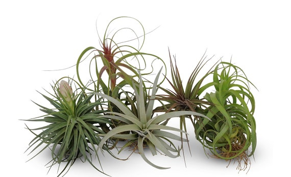 5 Large Assorted Tillandsia Collection Air Plants Free Etsy