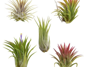 5 Pack Assorted Ionantha Color Changing Air Plants FREE SHIPPING