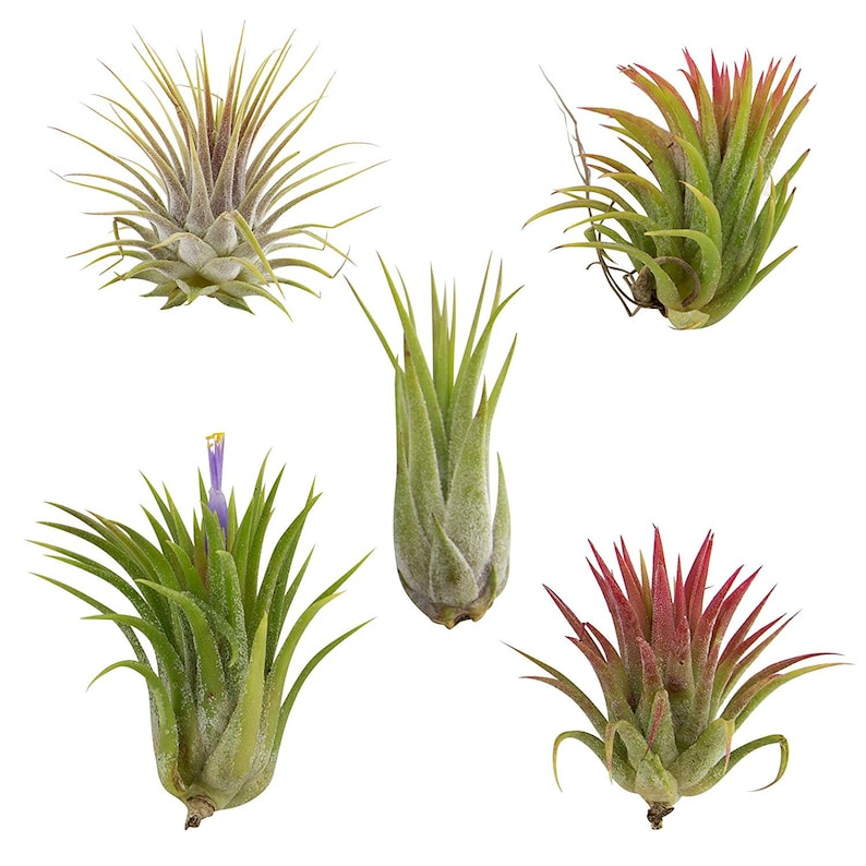5 Pack Assorted Ionantha Color Changing Air Plants FREE image 0