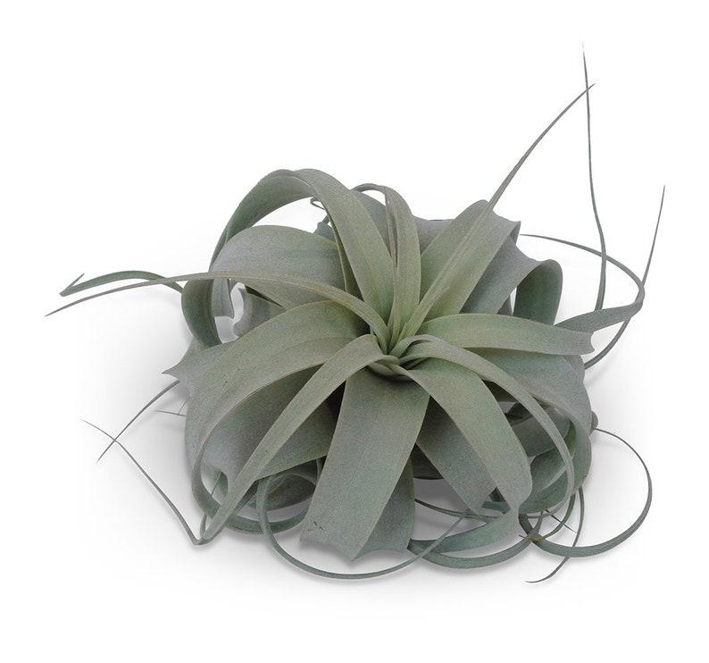 Tillandsia Xerographica Med/Lg 4-6 Air Plants FREE image 0